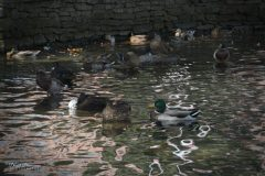 Ducks by Fountain
